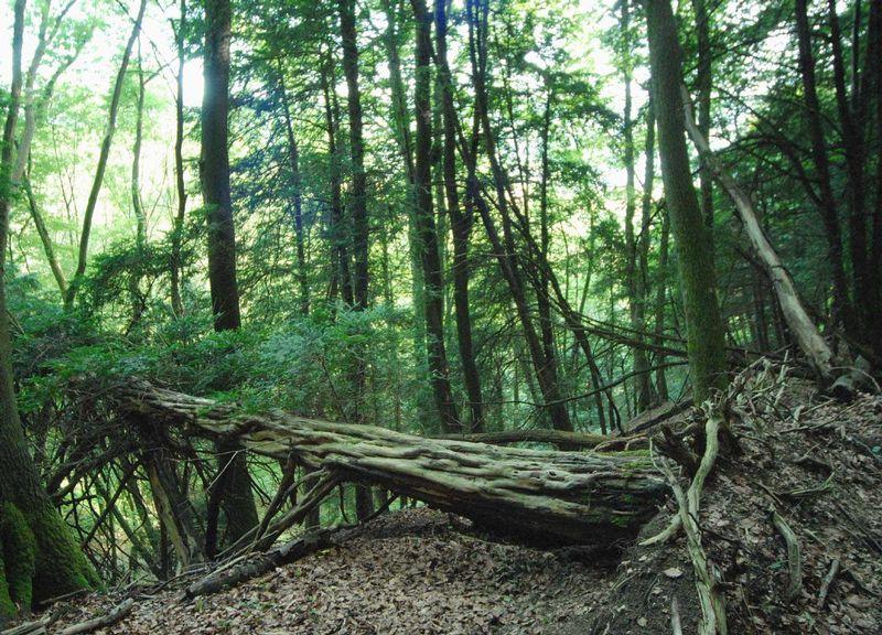 Bild Naturwaldreservat Eibenwald