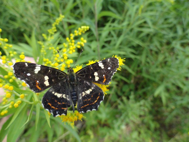 Bild_Landkaertchen_Schmetterling