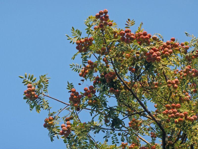 Speierlingsfrüchte (Sorbus domestica), Bild Andreas Rudow, ETHZ